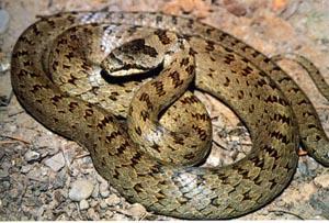 I serpenti di sinalunga e dintorni for Biscia nera
